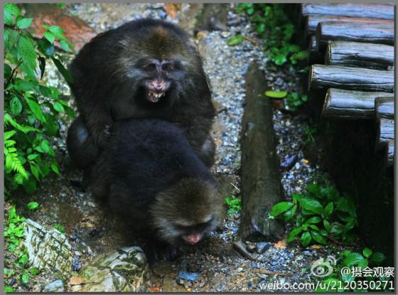 峨眉山流氓猴