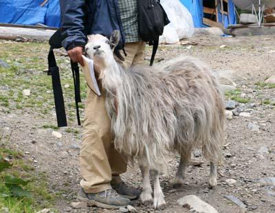 逢人就顶的老山羊