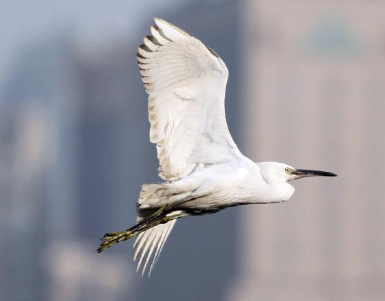 在城市里飞翔的白鹭