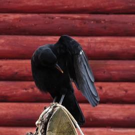 2014年6月的山鸦幼鸟