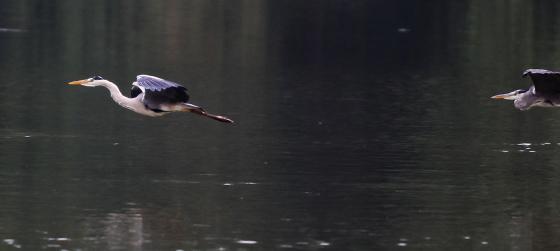 grey-heron-11