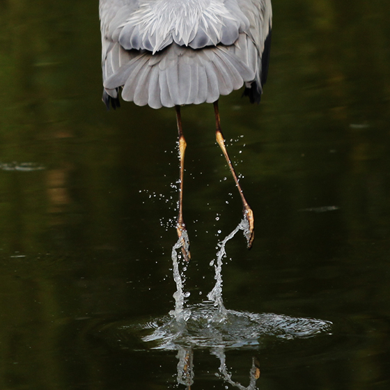 grey-heron-3