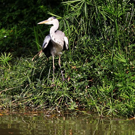 grey-heron-5