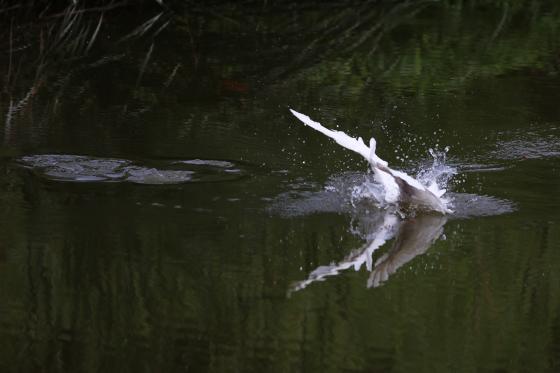 扑进水中的小白鹭