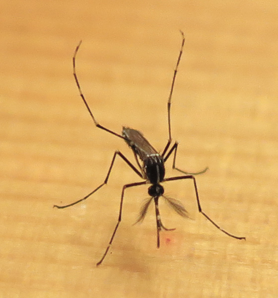 mosquito-20150703