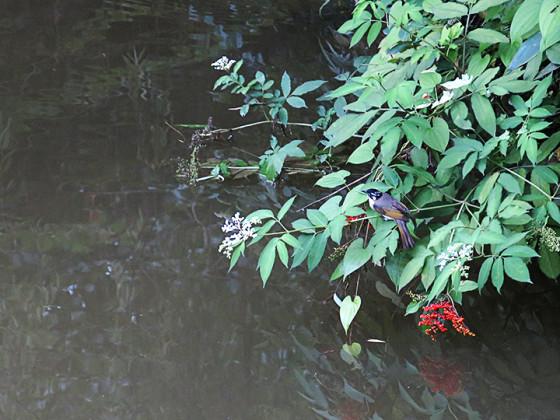 pycnonotus-sinensis-0