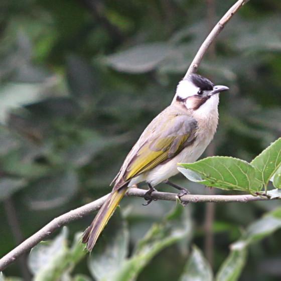pycnonotus-sinensis-1