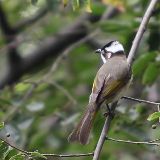 pycnonotus-sinensis-2