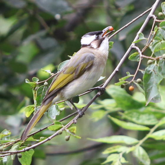 pycnonotus-sinensis-3
