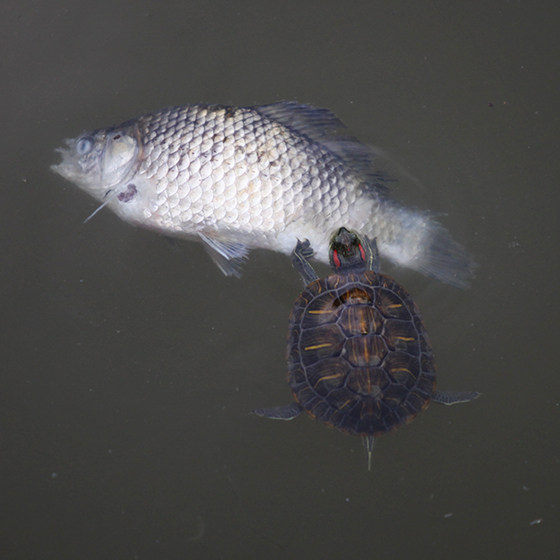 啃食鱼尸的巴西红耳龟