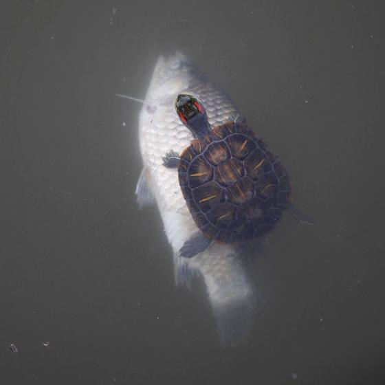 巴西红耳龟使用鱼尸作为换气省力的浮筏