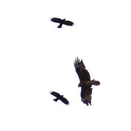 红嘴山鸦攻击黑耳鸢