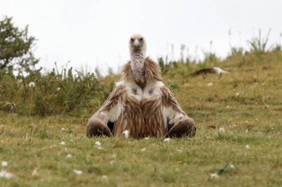 打坐的兀鹫