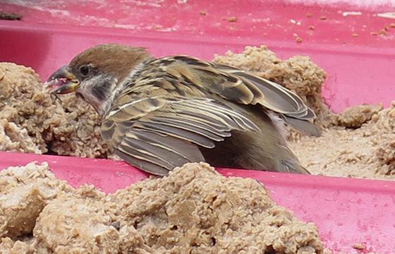 左腿缺失的麻雀用翅膀支撑着进餐