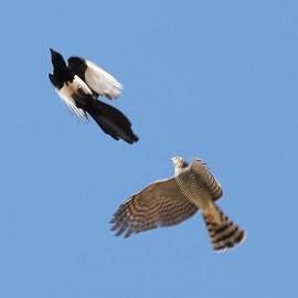 sparrowhawk-magpie-fight-1