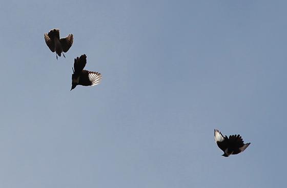 sparrowhawk-magpie-fight-5