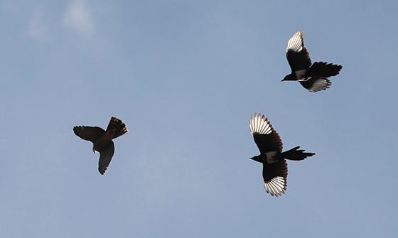 sparrowhawk-magpie-fight