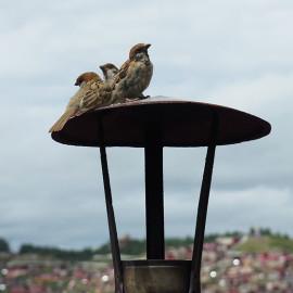 停落在烟囱盖上的麻雀