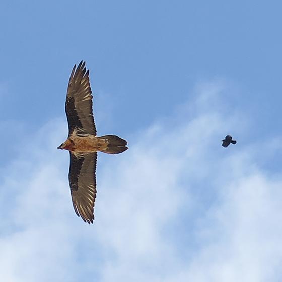 红嘴山鸦追打胡兀鹫