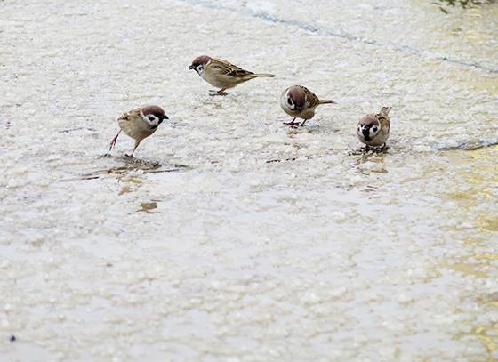 麻雀在雪粒子中翻找被击落的飞虫