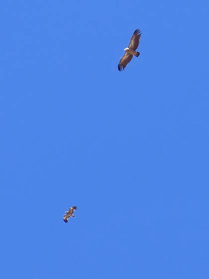 高山兀鹫和疑似草原雕