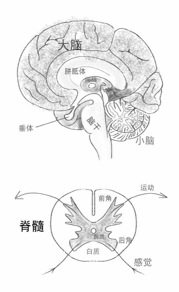大脑和脊髓手绘