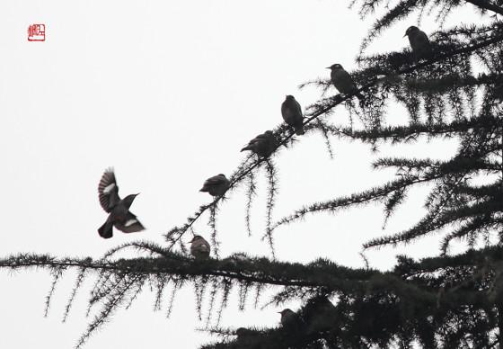丝光椋鸟和灰椋鸟群