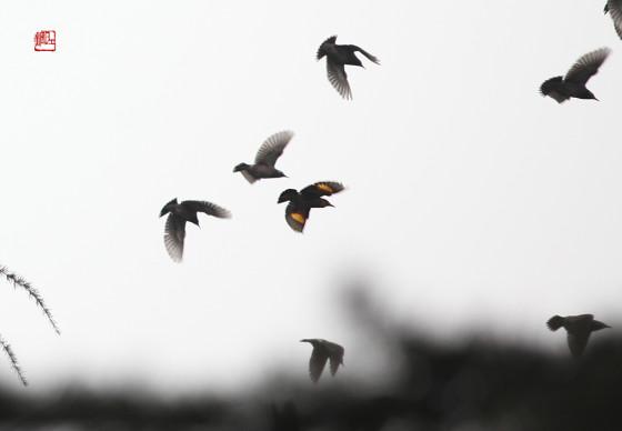 被染色的丝光椋鸟和灰椋鸟群