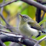 叉尾太阳鸟♀ 图源鸟类网