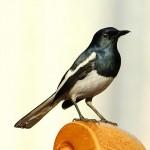 鹊鸲 图源鸟类网
