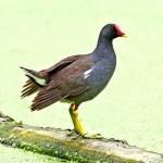黑水鸡 图源鸟类网