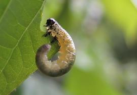 樟叶蜂幼虫