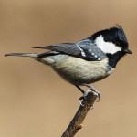 煤山雀 图源鸟类网