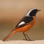 北红尾鸲 图源鸟类网