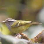 灰喉柳莺 图源鸟类网