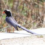 红嘴蓝鹊 图源鸟类网
