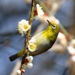 暗绿绣眼鸟 图源鸟类网
