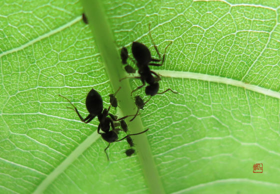 蚂蚁放牧蚜虫