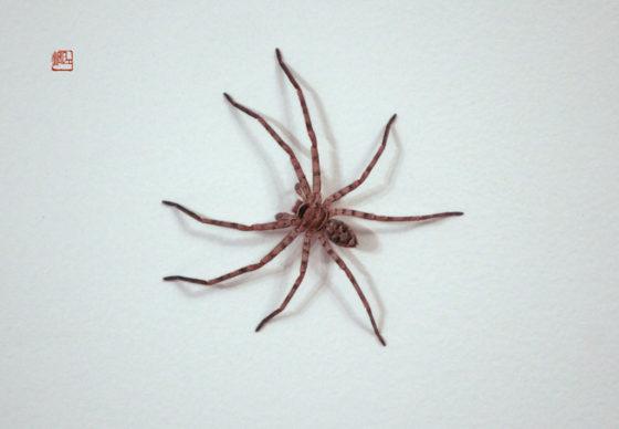 白额高脚蛛(Heteropoda venatoria)