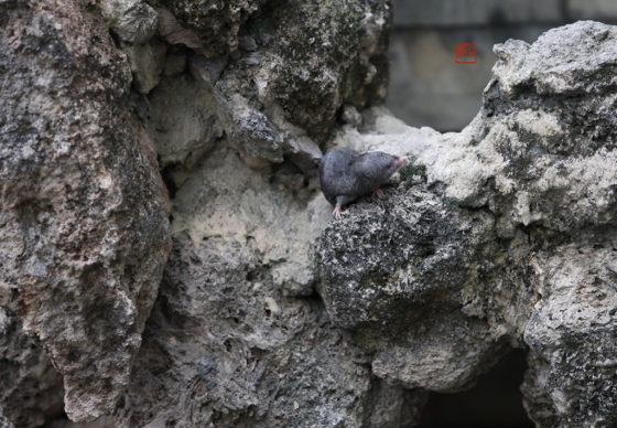 假山上的四川短尾鼩