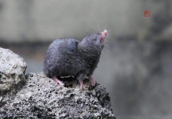 四川短尾鼩