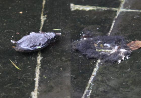 两具短尾鼩的尸体