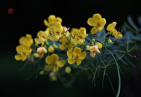双荚决明(Cassia bicapsularis)